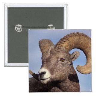 ovejas grandes del cuerno, ovejas de montaña, cana pin cuadrada 5 cm