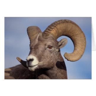 ovejas grandes del cuerno ovejas de montaña cana felicitaciones