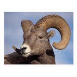 ovejas grandes del cuerno, ovejas de montaña, cana tarjetas postales