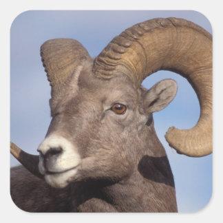 ovejas grandes del cuerno, ovejas de montaña, pegatina cuadrada