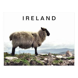 Ovejas irlandesas en la postal de las rocas