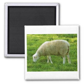 Ovejas - Mouton Imán Cuadrado