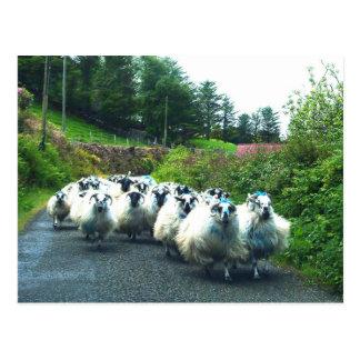 Ovejas punkyes en la península Irlanda de Beara Postales