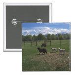Ovejas y corderos de mayo pins