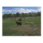 Ovejas y corderos de mayo tarjetas postales