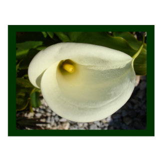 Overhead Shot Of A Heart Shaped Cream Calla Lily Postcard