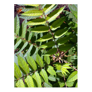 Overhead view of a young sapling tree Ailanthus al Postcard