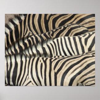 Overhead view of Burchell's Zebra (Equus Poster
