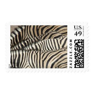 Overhead view of Burchell's Zebra Stamp