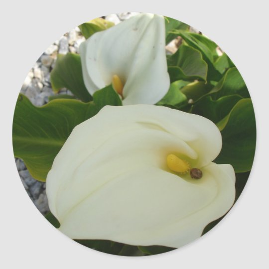 Overhead View Of Two Calla Lilies In A Garden Classic Round Sticker