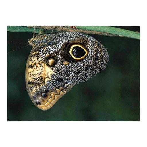 Owl butterfly, Caligo beltrao Announcements