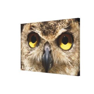 Owl Close-Up Canvas Print