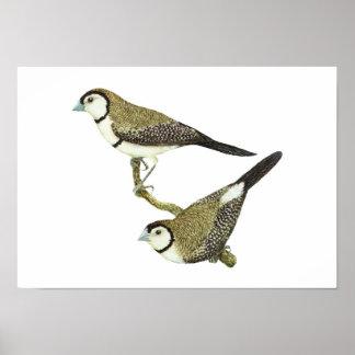 Owl Finch (both forms) - Taeniopygia bichenovii Poster