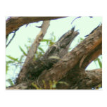 owl frogmouth postcard