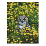 Owl in Buttercups Post Card