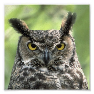Owl Photograph Poster