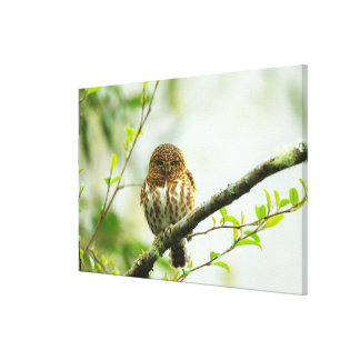 Owlet agarrado del pigmy que se encarama en rama impresión en lona estirada
