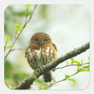 Owlet agarrado del pigmy que se encarama en rama pegatina cuadrada