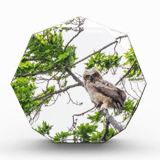 Owlet On A Maple Tree Branch Acrylic Award