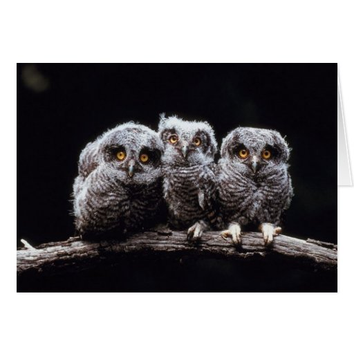 Owlet Trio Greeting Cards