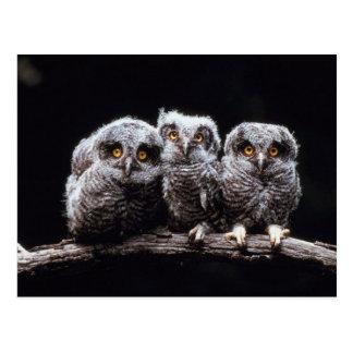 Owlet Trio Postcard