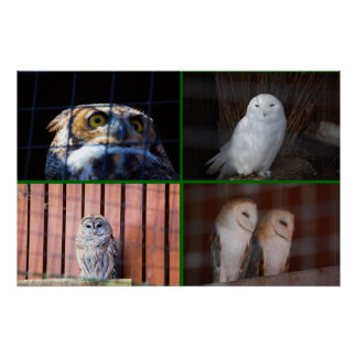 Owls Posters