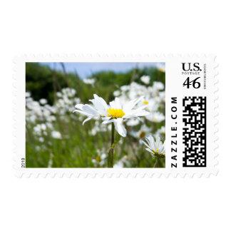 Ox-eye Daisies | Flower Postage