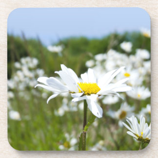 Ox-eye Daisies in Summer Photograph Drink Coaster
