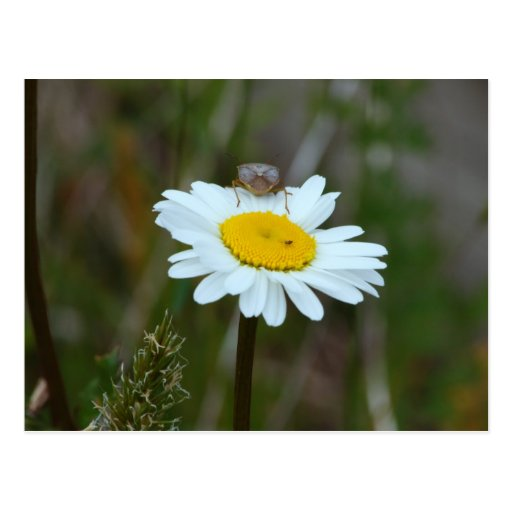 Oxeye Daisey Post Card