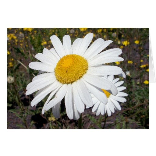 Oxeye Daisy 1 Greeting Card