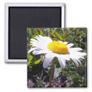 Oxeye Daisy 2 Magnet