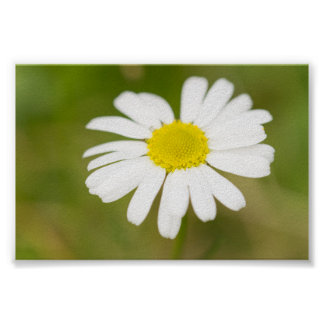 Oxeye Daisy Poster