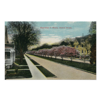 Oxford Street Magnolias in Bloom Poster