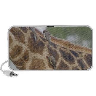 Oxpeckers en la jirafa, parque nacional de Kruger, Altavoces De Viaje