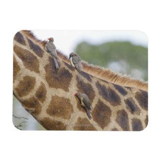 Oxpeckers en la jirafa, parque nacional de Kruger, Imanes Rectangulares
