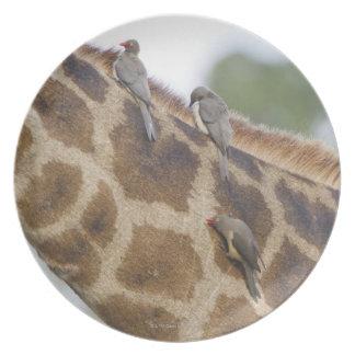 Oxpeckers on Giraffe, Kruger National Park, Dinner Plate