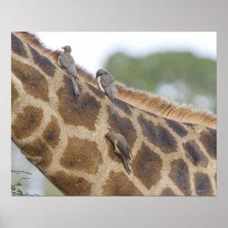 Oxpeckers on Giraffe, Kruger National Park, Poster