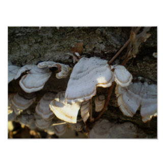 Oyster Fungus on Tree Poster