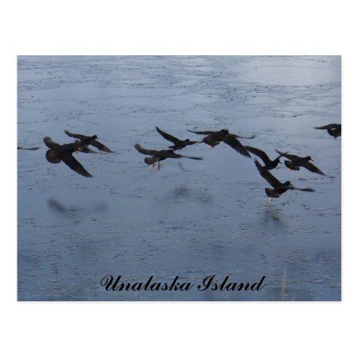 Oystercatchers in Flight, Unalaska Island Postcard