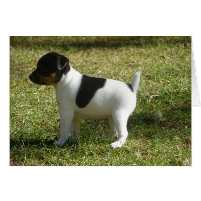 Terrier Puppies on P1010024 Rat Terrier Puppy Cards From Zazzle Com
