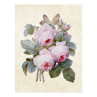 P J Redoute Bourbon Rose Postcard