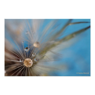 © P Wherrell Dandelion seeds and water photograph Poster