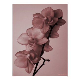 © P Wherrell Stylish dusky pink orchid flowers Posters
