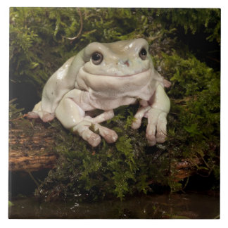 PA central, los E.E.U.U., White's Treefrog; Lito Azulejo Cuadrado Grande