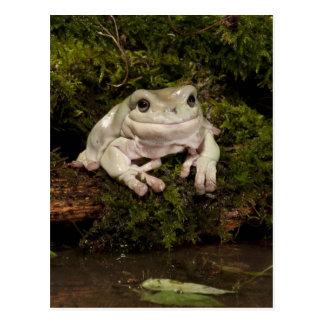 PA central, los E.E.U.U., White's Treefrog; Lito Tarjetas Postales