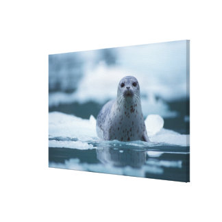pacific harbor seal, Phoca vitulina richardsi Canvas Print