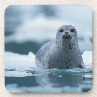 pacific harbor seal, Phoca vitulina richardsi Coaster