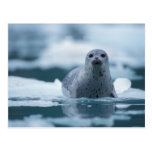 pacific harbor seal, Phoca vitulina richardsi Postcard
