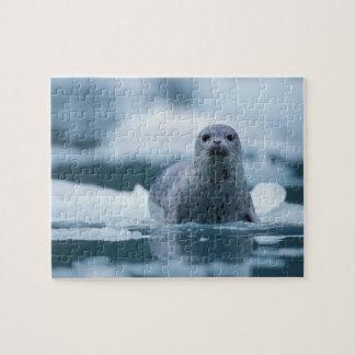 pacific harbor seal, Phoca vitulina richardsi Puzzle