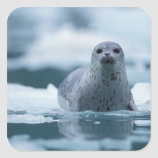 pacific harbor seal, Phoca vitulina richardsi Square Sticker